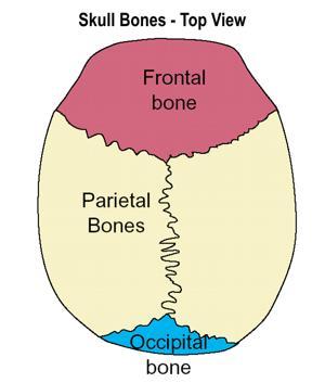 Top View Skull Bones